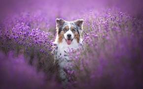 Picture language, look, face, flowers, dog, lavender, Australian shepherd, Aussie