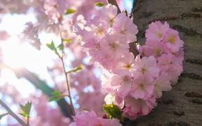 Picture light, flowers, branches, cherry, tree, mood, spring, Sakura, trunk, pink, bark, flowering, bokeh