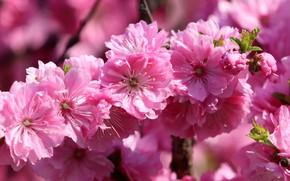 Picture macro, flowers, branch, spring, Sakura, pink, flowering, bokeh
