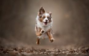 Picture background, jump, dog, running, walk, doggie, Miniature Australian shepherd, Mini Aussie