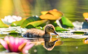 Picture flowers, pond, reflection, bird, duck, water lilies, duck, chick, pond, duck, bokeh