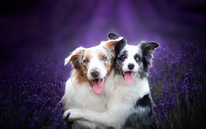 Picture dogs, friends, lavender