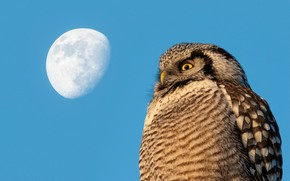 Picture the sky, look, blue, owl, bird, the moon, view, blue background