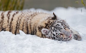 Picture winter, white, look, snow, nature, tiger, pose, cute, lies, blue eyes, tiger, handsome, tiger
