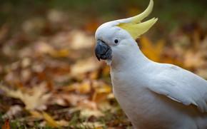 Picture autumn, parrot, crest, Fleur Walton, white parrot