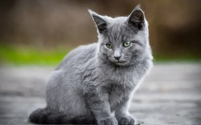 Picture road, cat, look, kitty, grey, background, kitty, sitting, green-eyed, smoky