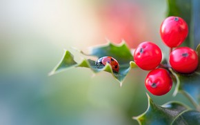 Picture leaves, macro, red, berries, ladybug, beetle, blur, fruit, red, insect, bug, bokeh