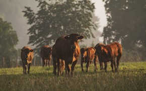 Picture nature, cows, cattle