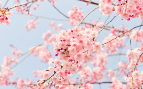 Picture light, flowers, branches, cherry, spring, Sakura, gentle, pink, light background, flowering, a lot, bokeh