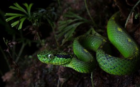 Picture greens, nature, the dark background, snake, green, reptile
