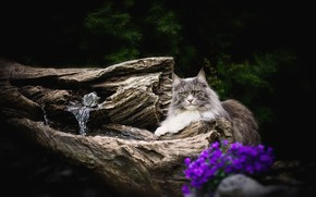 Picture cat, cat, look, face, flowers, nature, pose, the dark background, grey, tree, stump, snag, needles, …