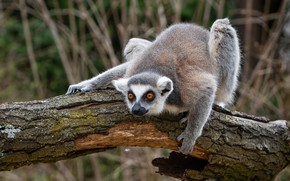 Picture pose, paws, lemur, log