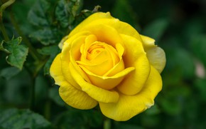 Picture flower, macro, background, rose, Bud, yellow