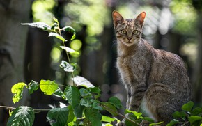 Picture look, branches, wild cat, Forest cat