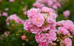 Picture Roses, Roses, Pink roses, Pink roses