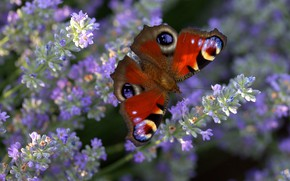 Picture macro, light, flowers, stems, butterfly, glade, wings, insect, lavender, lilac, bokeh, bright, Emperor moth