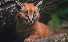 Wallpaper cub, kitty, wild cat, Caracal