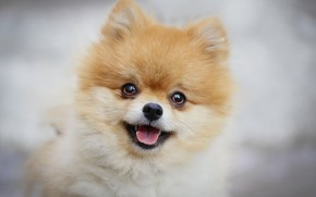 Picture each, dog, face, Spitz