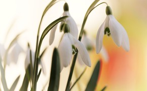 Picture leaves, macro, flowers, background, spring, snowdrops