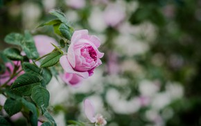 Picture Bush, spring, tea rose, tea, mauve