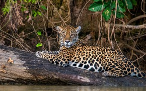 Picture cat, look, branches, nature, stay, lies, log, pond, wild, JAGUAR