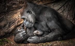 Picture love, baby, gorilla, mom