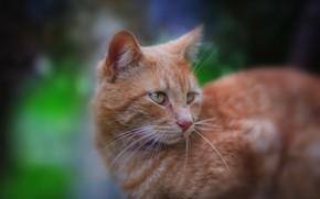 Picture cat, cat, look, red, muzzle, cat