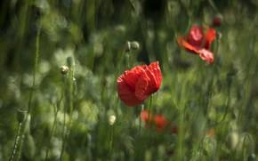 Picture flower, grass, nature, Mac, Maki, blur, red, bokeh