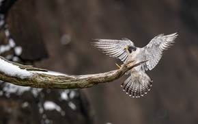 Picture winter, snow, background, tree, bird, branch, Falcon, peregrine, flap