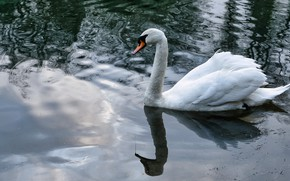 Picture white, reflection, bird, Swan, pond, swimming