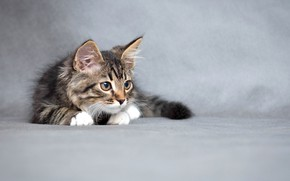 Picture kitty, fluffy, small