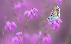 Picture macro, flowers, nature, background, pink, butterfly, insect, blurred, buds, Heather