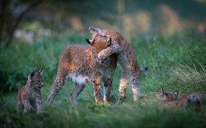 Picture grass, nature, pose, background, glade, the game, kittens, kids, wild cats, lynx, mom, stand, a …