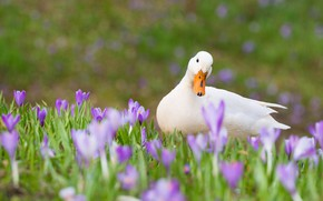 Picture grass, flowers, spring, crocuses, white, duck, duck