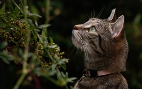 Picture cat, cat, look, leaves, the dark background, grey, branch, fruit, profile, collar, striped