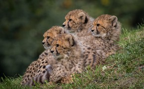 Picture kids, mom, family portrait, cheetahs, brood