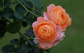 Picture leaves, background, roses, orange