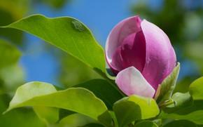 Picture flower, tree, Bud, Magnolia