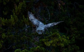 Picture forest, flight, branches, the dark background, tree, owl, bird, grey, needles, owl, peak, wingspan