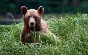 Picture grass, look, face, bear, Grizzly