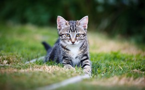 Picture cat, grass, kitty, glade, kitty