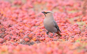 Picture berries, bird, glade, fruit, pink background, a lot, bokeh, the Waxwing