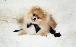 Picture white, look, pose, smile, black, dog, puppy, lies, fur, bow, face, brown, light background, Spitz