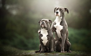 Picture dogs, look, nature, background, together, two, pair, grey, a couple, Duo, friends, sitting, two dogs, …