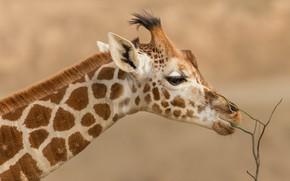 Picture look, face, branches, background, portrait, giraffe, profile, neck