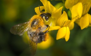 Picture Macro, Flower, Bumblebee, Insect, Macro, Bumblebee, Insect, Close-Up, Egor Kamelev, by Egor Kamelev