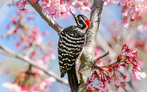 Picture cherry, tree, bird, spring, woodpecker, flowering, flowers, cherry blossoms