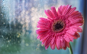 Picture flower, glass, drops, rain, pink, window, flower, pink, morning, window, drops, gerbera