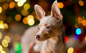 Picture look, light, lights, pose, background, portrait, dog, Christmas, New year, garland, face, dog, colorful, bokeh, …