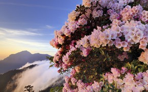 Picture flowers, mountains, fog, pink, the bushes, Azalea, rhododendrons
